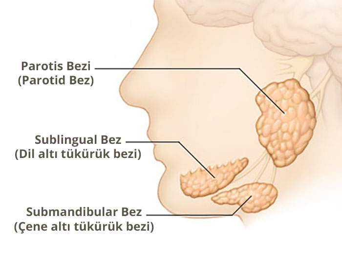 Tükürük bezlerinin yerleri - Prof. Dr. Çetin Vural